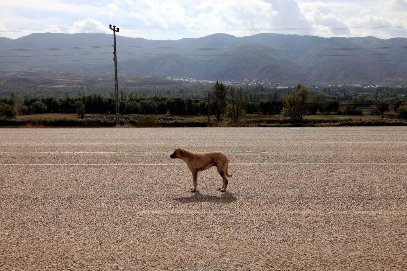 Baby Kangal dog, Refahiye, Turkey